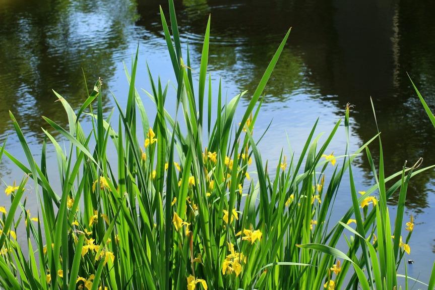 iris-pseudacorus-yellow-3416003_1280