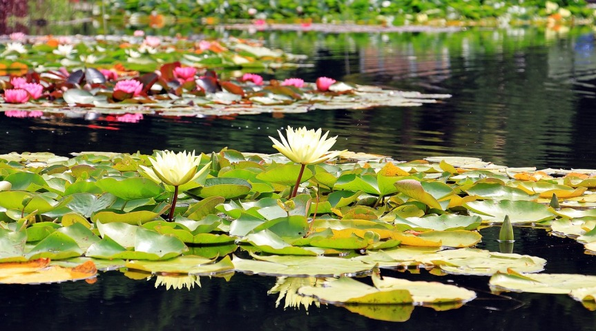 water-lilies-1540496_1280